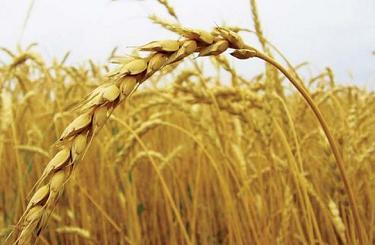 EXP.IDK.RU. Эксперты повысили прогнозы по сбору зерновых в РФ в 2016 году