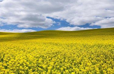 Strategie Grains понизило прогноз производства рапса в ЕС