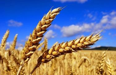 EXP.IDK.RU. Правительство убивает производителей зерна несмотря на высокие урожаи (Видео)