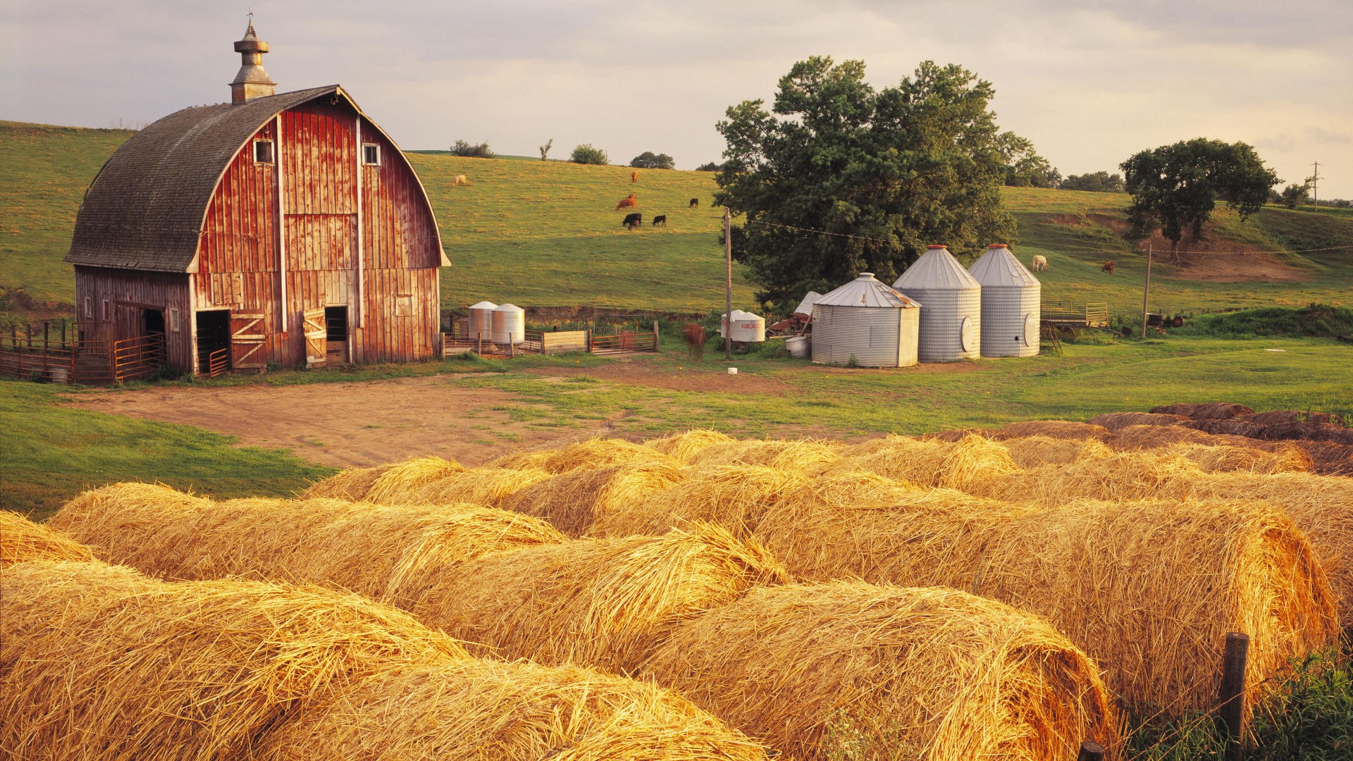 Картинки с пшеницей и коровой